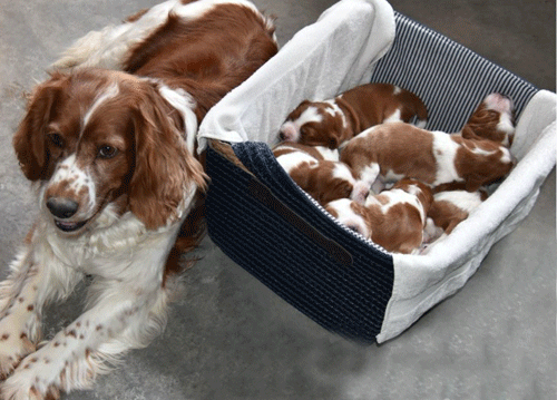 Welsh Springer Spaniel puppy prices and cost
