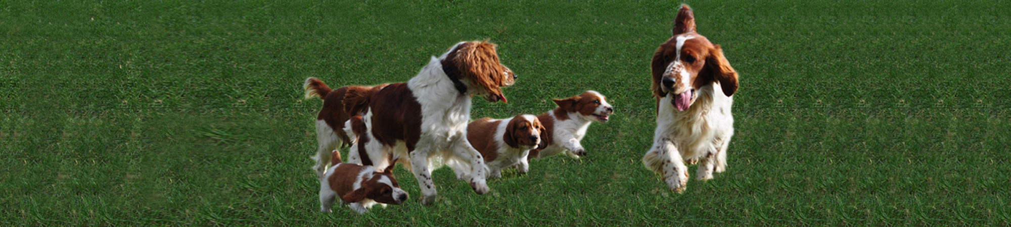 Welsh Springer Spaniels at play