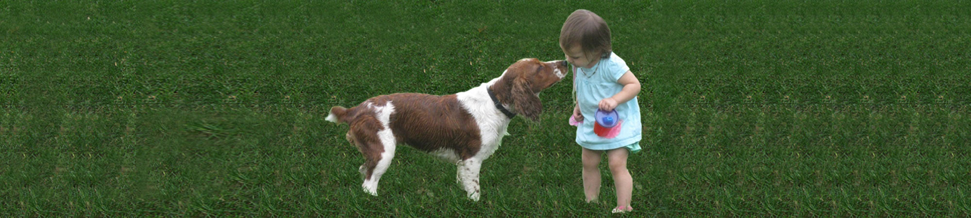 Welsh Springer Spaniel kissing little girl